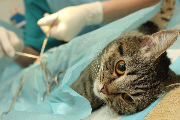 Операция для кота-крипторха обязательна