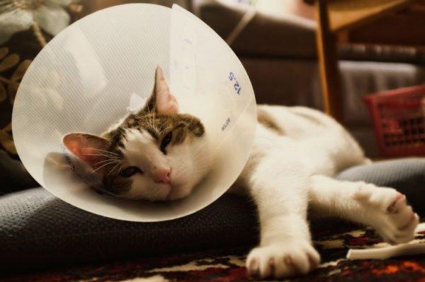 Кот должен находиться в защитном ошейнике всё время