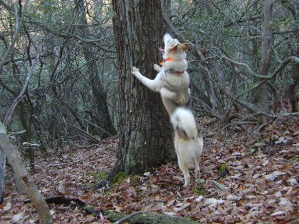 Лайка загоняет на дерево глухаря