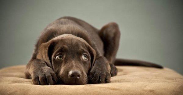 Нельзя использовать «Энтеросгель», если у животного наличествуют повреждения ЖКТ