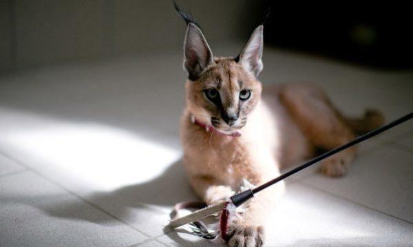 Как и все кошки, каракалы очень игривы