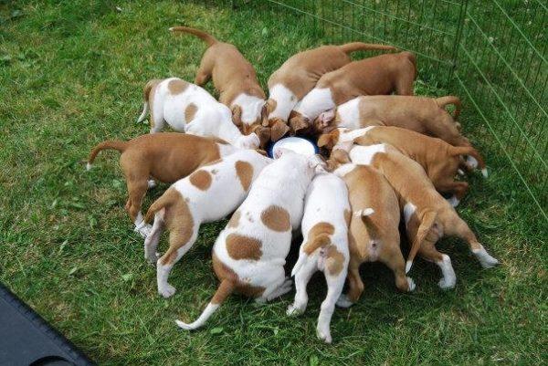 Щенков кормят втрое чаще по сравнению со взрослыми собаками