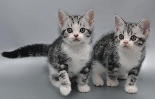 Котята короткошерстной американской