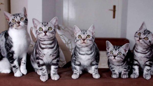 Американские короткошерстные кошки любят компанию себе подобных