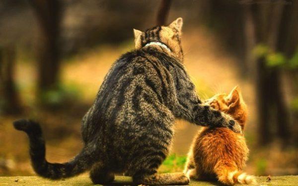 Даже коты с вылеченным крипторхизмом не допускаются к разведению