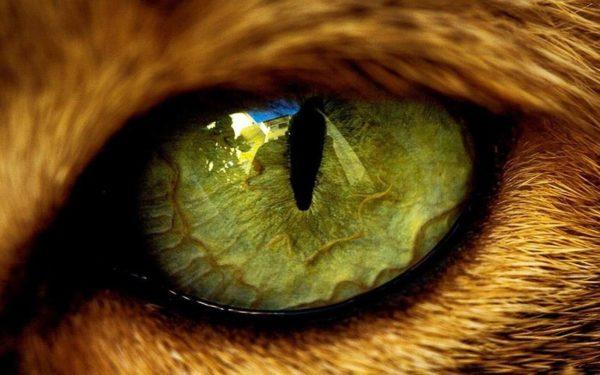 Зеленоглазых кошек связывали с нечистой силой