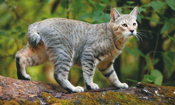 Домашняя кошка с диким очарованием