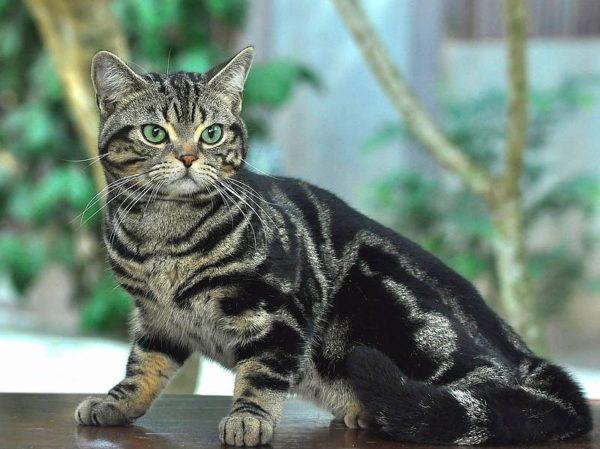 Короткошерстная кошка – гордость Америки