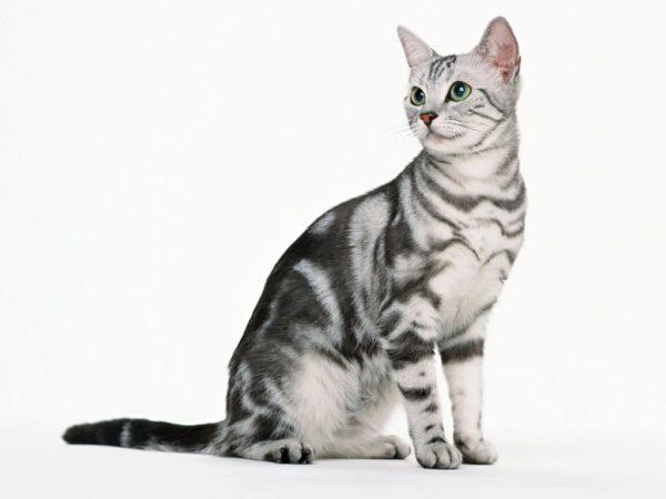 Телосложение кошки выдаёт прирождённого охотника-мышелова