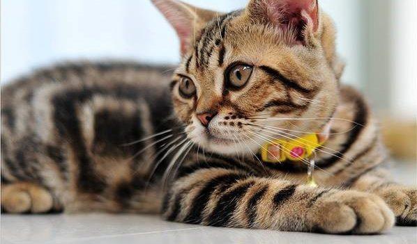 Если кошку выпускают на прогулку, на ней должен быть ошейник с адресником