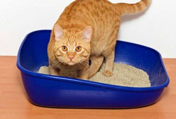 Коты-крипторхи имеют особенности при мочеиспускании