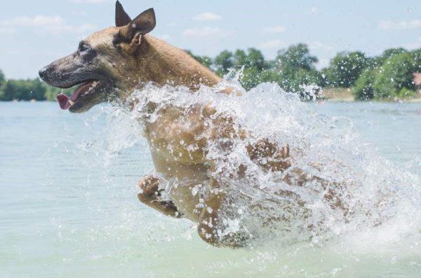 После купания в открытом водоёме малинуа нужно помыть под душем