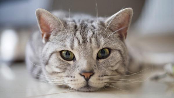 Чаще всего животные, вынужденные перенести панлейкопению в подострой форме, при должном лечении без каких-либо проблем выздоравливают
