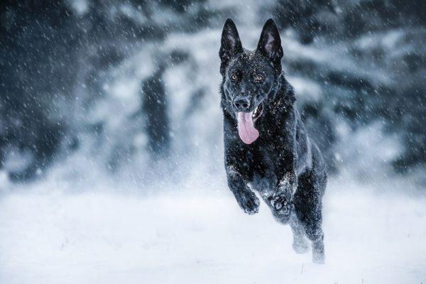 Чтобы не мёрзнуть зимой, собака тратит больше ресурсов организма