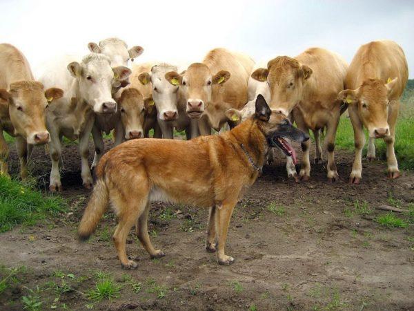 Бельгиец охраняет стадо