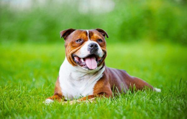 Американских питбультерьеров относят к собакам-аллергикам