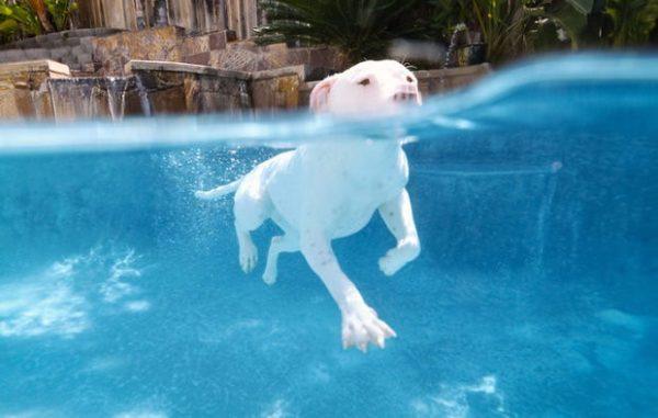 Перед плаванием лучше поместить в уши питбуля вату, чтобы не попала вода