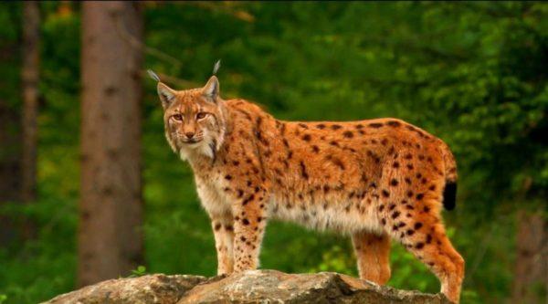 Дикая рысь – животное серьёзное и беспощадное