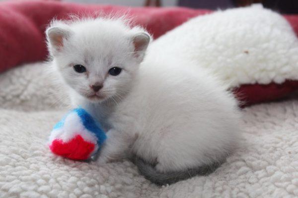 Молниеносная форма болезни характерна для маленьких котят