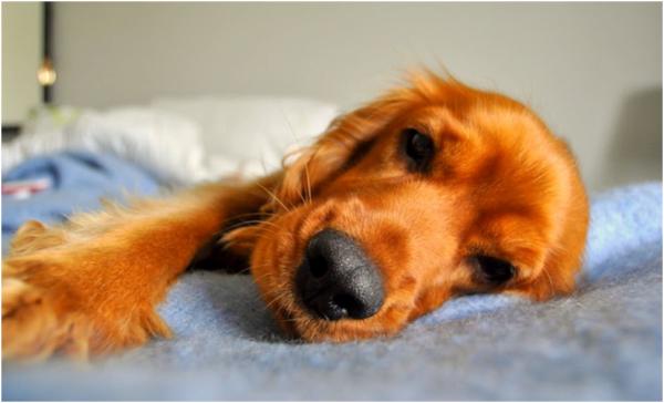 Выздоровление также зависит от природной резистентности животного к болезни
