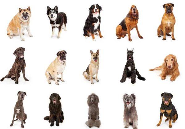 Крупные собаки более уязвимы для болезни