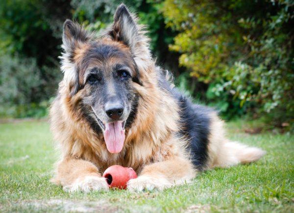 Пожилые собаки могут сильно хромать с утра, но к вечеру симптом уходит