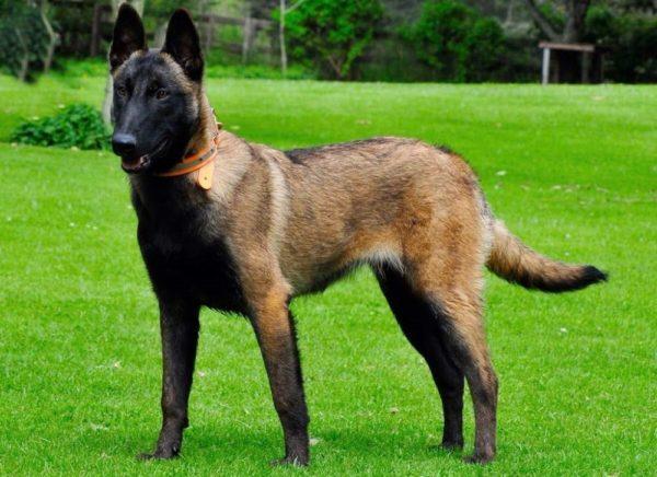 В спокойном состоянии собака опускает хвост