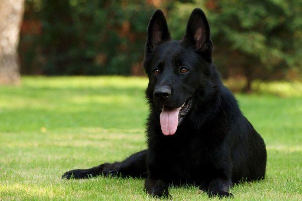 Большие стоячие уши собаки нужно проверять на предмет загрязнений или клеща