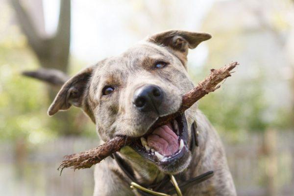 Вместе с игрушкой собака передаст хозяину и аллергены