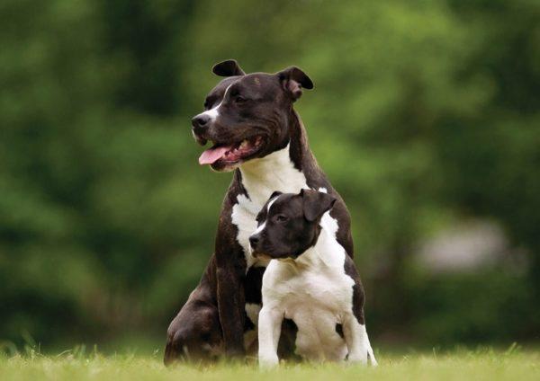 Кормление щенка и взрослой собаки различается