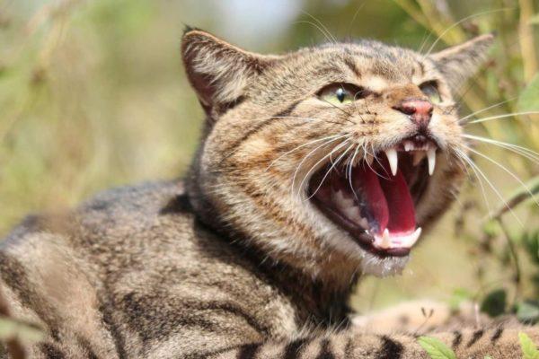 От эпидемии чумы золотоискателей защищали предки короткошерстной американской кошки
