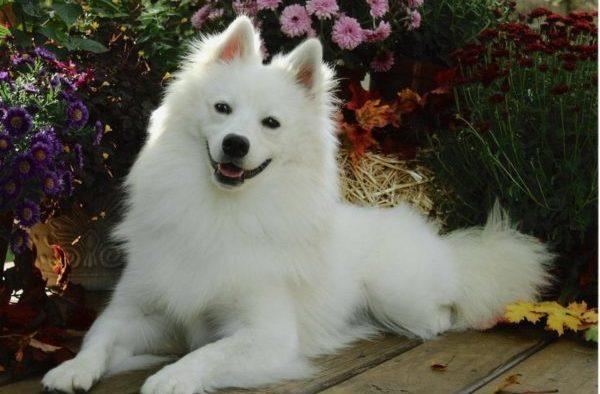 Стоимость собаки варьируется примерно от 15 тысяч до 40 тысяч