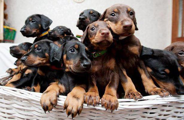 В группе риска находятся щенки в возрасте от 2 до 14 недель