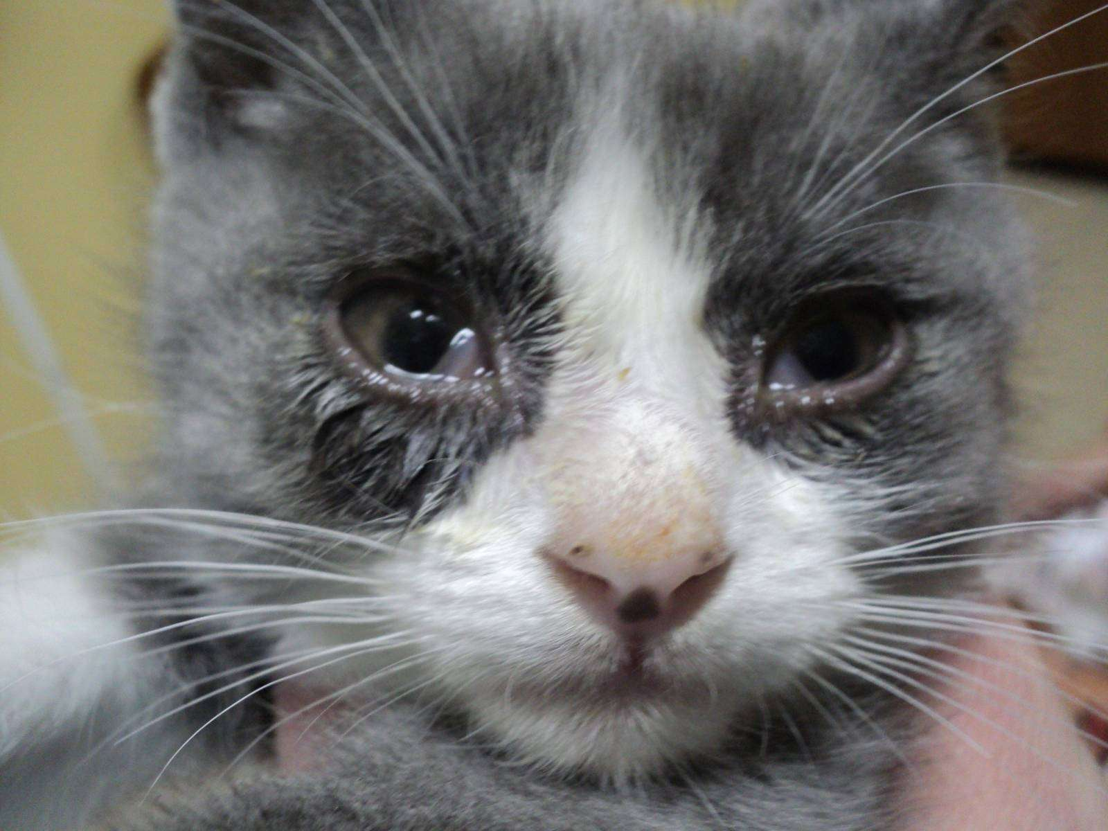 Слезящиеся глаза бывают признаком нездоровья котят