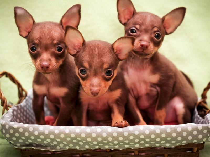 Особенности характера щенков проявляются в самом раннем возрасте