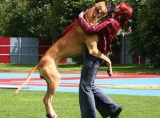Большая собака прыгает на хозяина