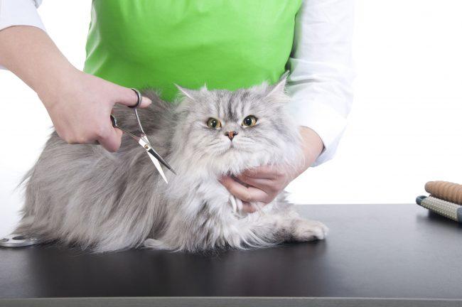 Если у кошки длинная шерсть, то место введения препарата остригают