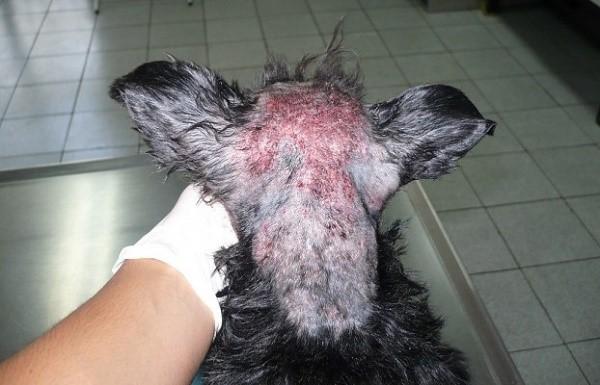 Печень собаки также может страдать, поэтому дайте ей гепатопротекторы