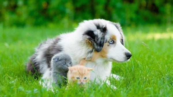 Аусси хорошо уживаются с кошками