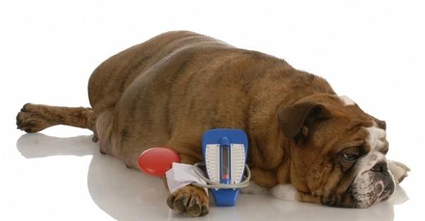 Как измеряют давление у собак?