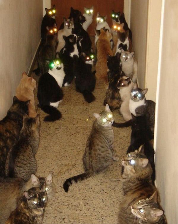 Кошка может выдумать беременность, соседствуя с самками, вынашивающими потомство