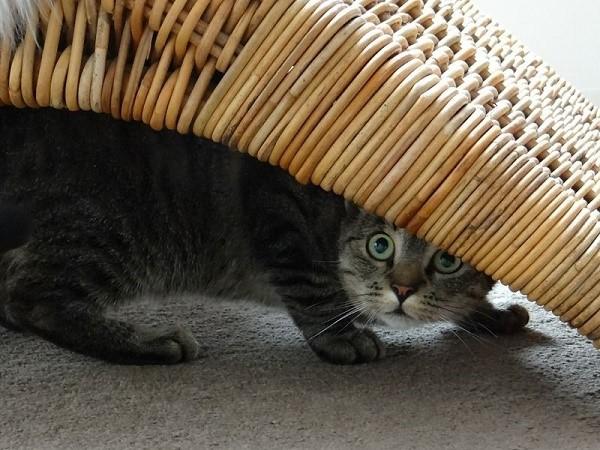 Кошка с глаукомой избегает солнечного света