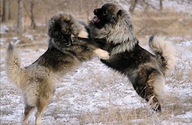 Драка двух кавказских овчарок