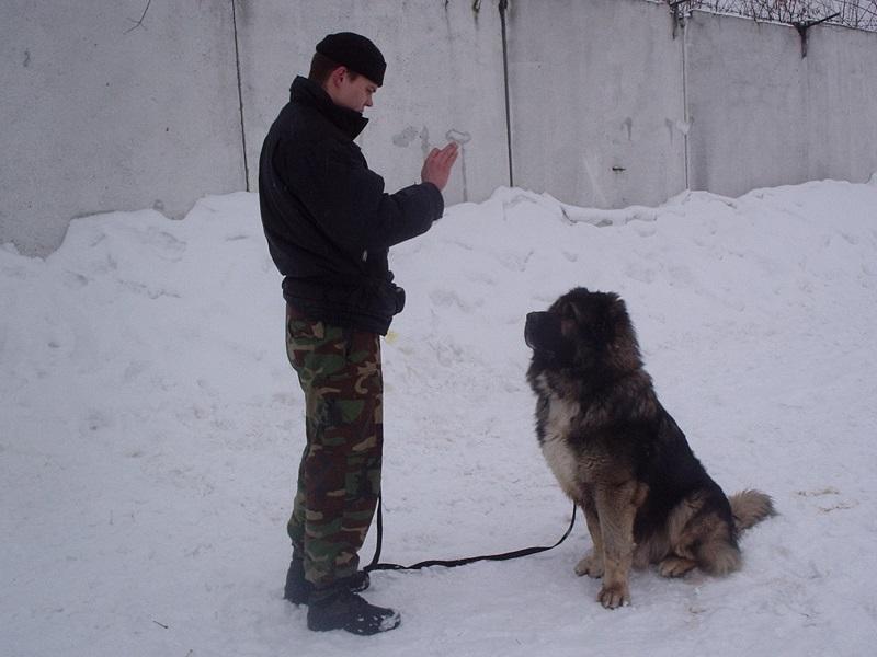 Кавказская овчарка принадлежит одному хозяину и будет слушаться только его