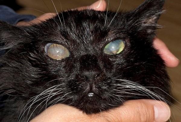 Чтобы понять, что у вашего кота именно глаукома, нужно исключить другие заболевания с похожей симптоматикой
