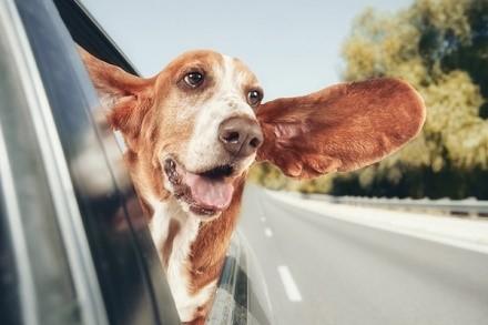 Если ваша собака больна, лучше повремените с путешествиями, акклиматизация может сказаться на ней исключительно негативно