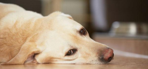 В запущенной форме болезни собаки сильно худеют