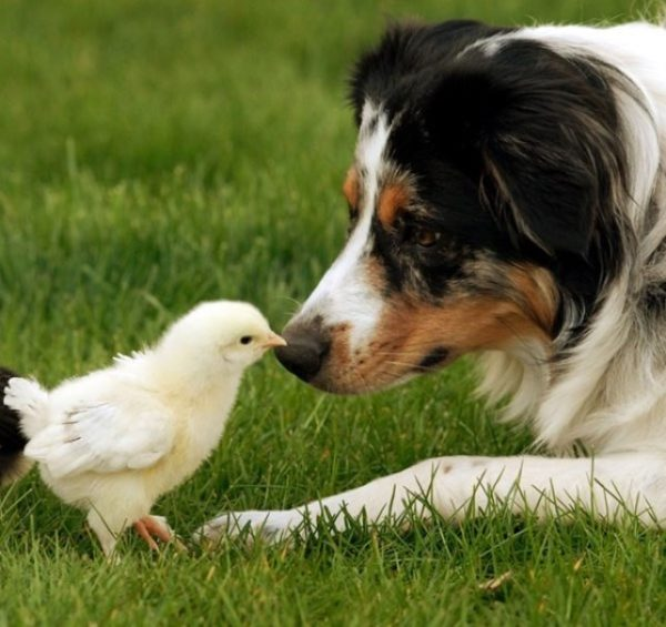 Австралийская овчарка охраняет всех животных и птиц во дворе