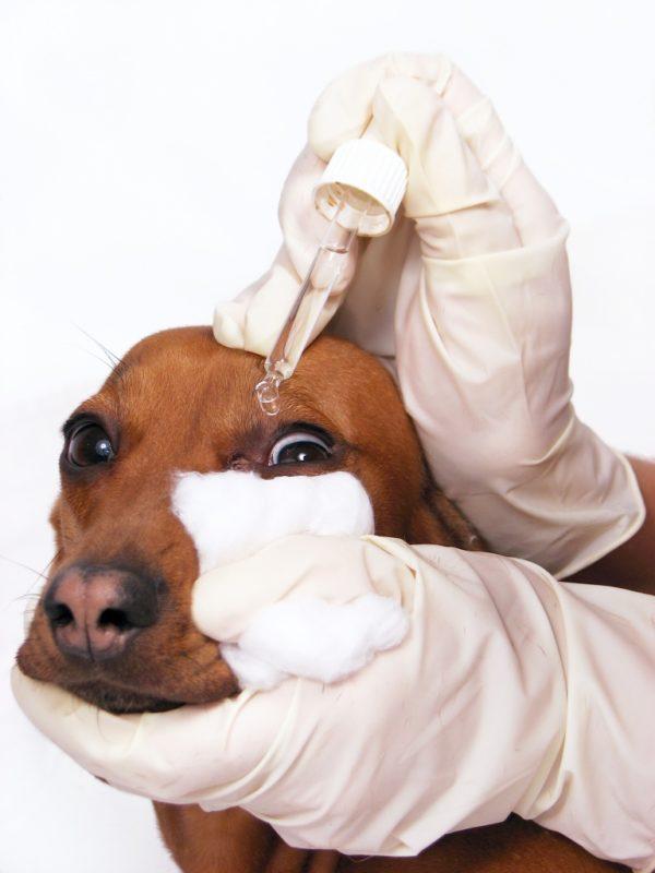 При лечении патологии нужно регулярно очищать слизистые оболочки питомца