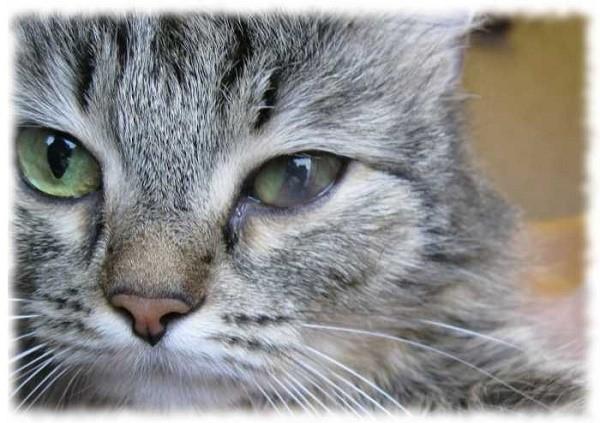 Если лекарственные средства не помогают, то животному потребуется хирургическое вмешательство